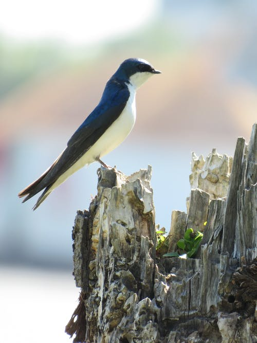 Free stock photo of bird, blue bird, swallow