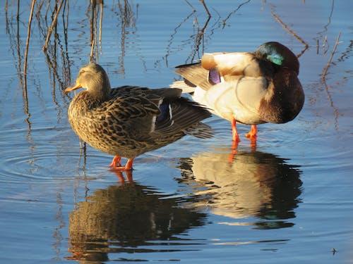 Free stock photo of ducks, ducks in water, mallard ducks