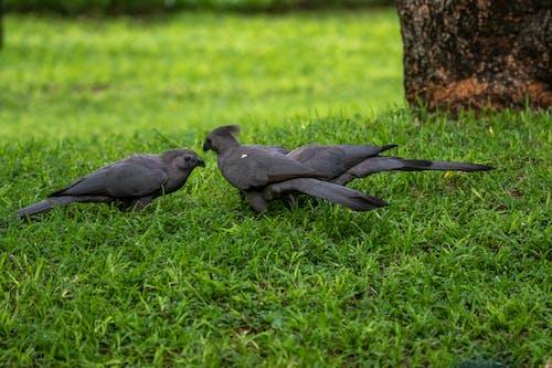 Black Birds on Green Grass