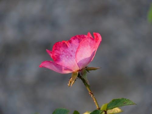 คลังภาพถ่ายฟรี ของ กลีบดอก, ดอกไม้, สีชมพู, เบ่งบาน
