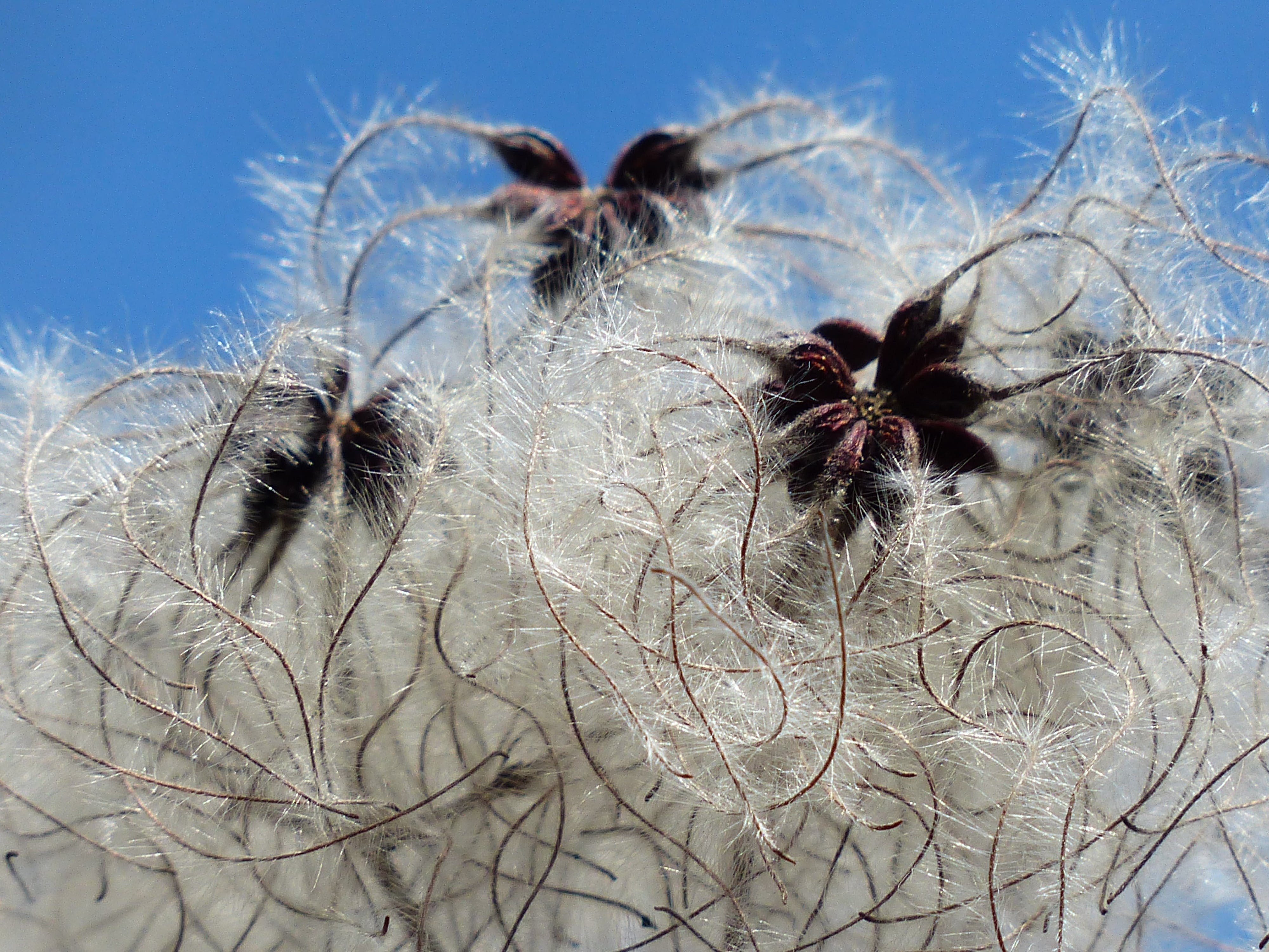 White Dandelion Seed