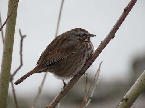 Free stock photo of bird, bird in bush, fox sparrow