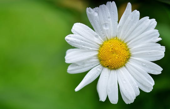 White and yellow flower view during daytime free stock photo white daisy mightylinksfo