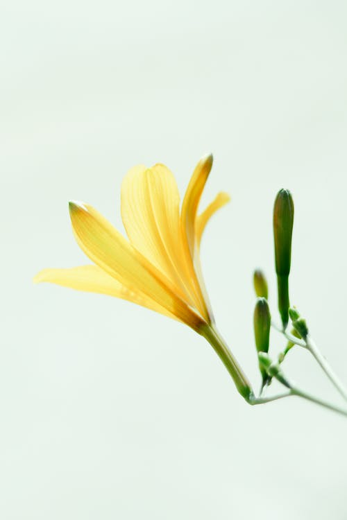 Yellow lily against light background