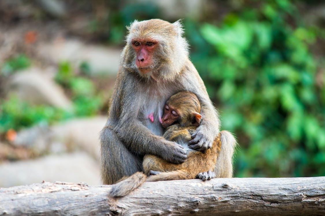 おもしろい, サル, マカクの無料の写真素材