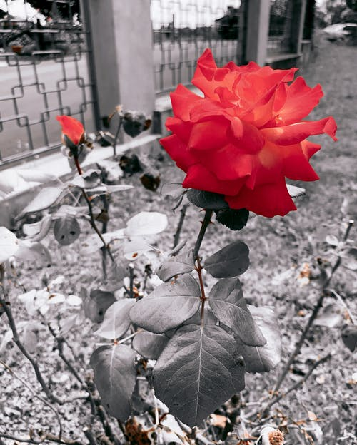 Free stock photo of beautiful flowers, beautiful nature, black and white background