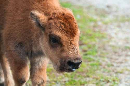 Free stock photo of animal, bison, calf