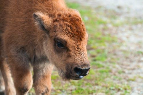 Darmowe zdjęcie z galerii z bizon, cielę, futro