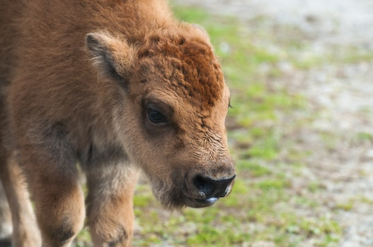 Free stock photo of animal, fur, canada, calf