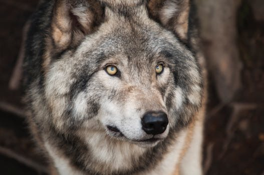 Gray And White Wolf 183 Free Stock Photo