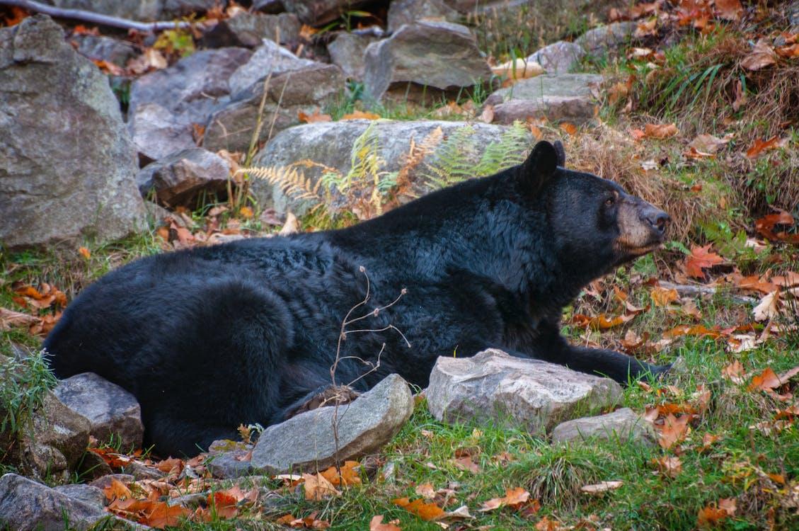 Free stock photo of bear, black, canada