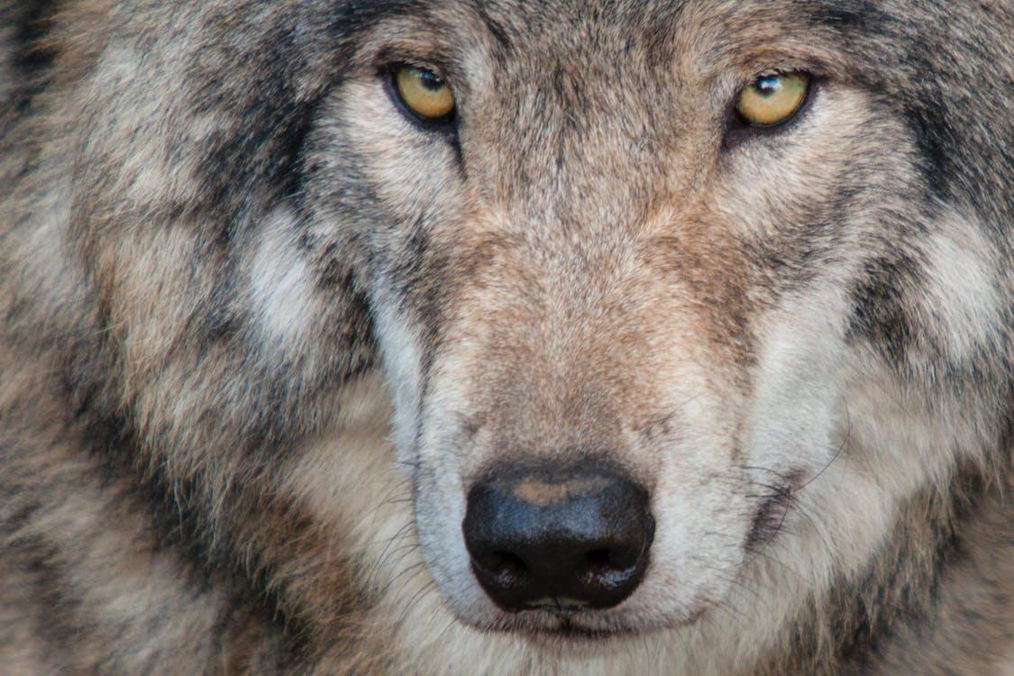 Free stock photo of canada, eyes, fur
