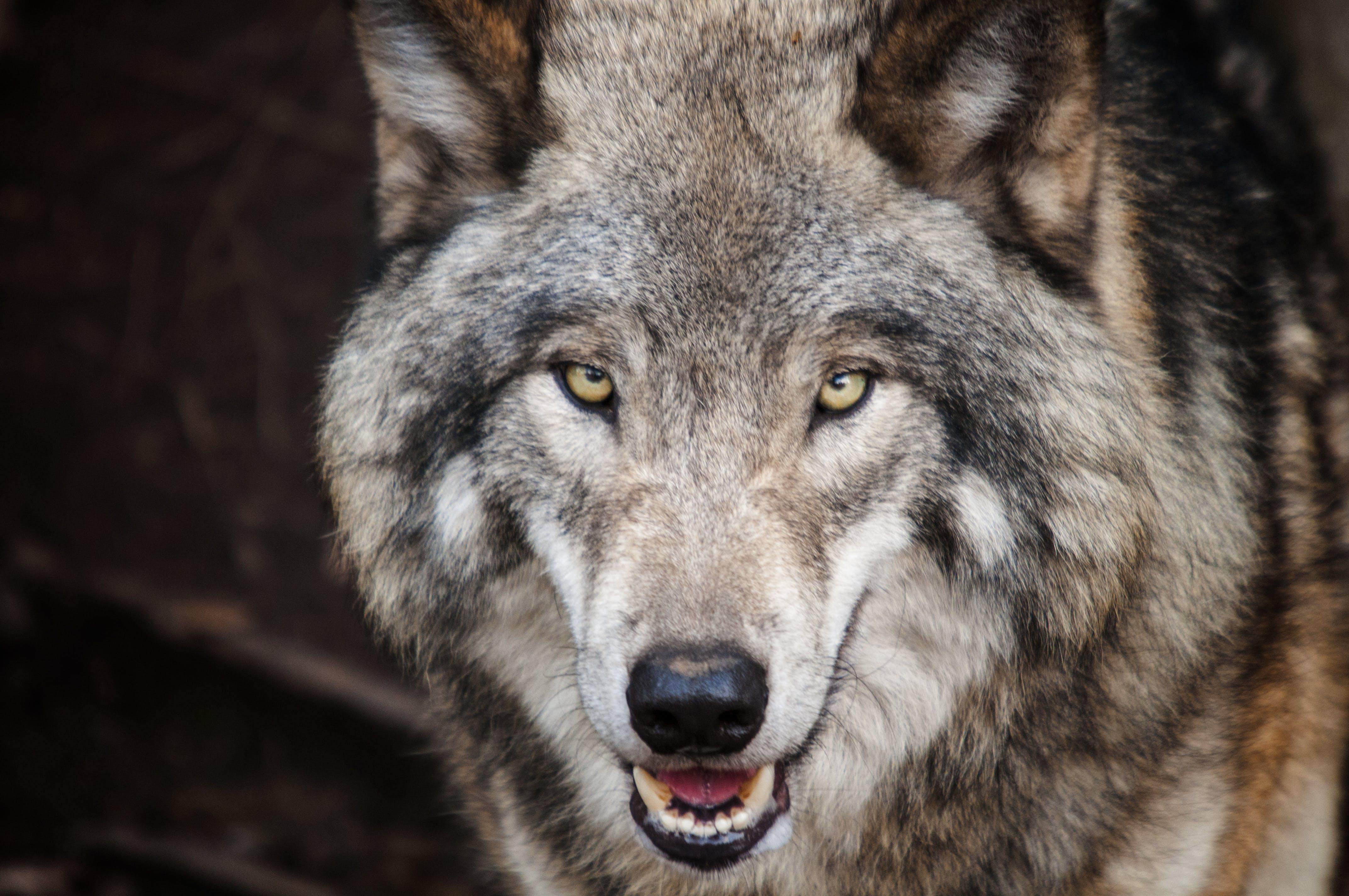 Kostenloses Stock Foto zu fleischfresser, gefahr, gucken, holz wolf