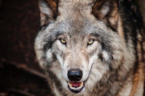 Безкоштовне стокове фото на тему «великий план, вовк, деревина вовка, дика природа»