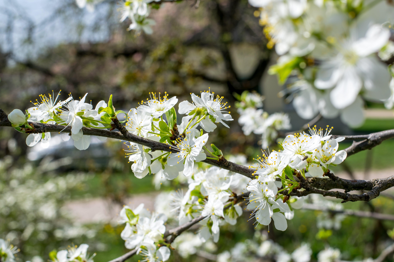 Gratis lagerfoto af blomme blomme, blommeblomst, blomster, kirsebær