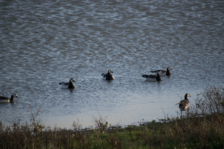 Gratis lagerfoto af gæs, Holland, svømning, vand