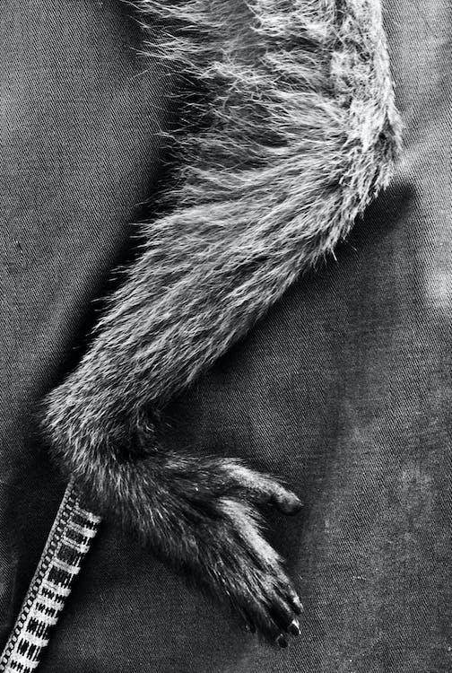 Free stock photo of black and white, leg, monkey