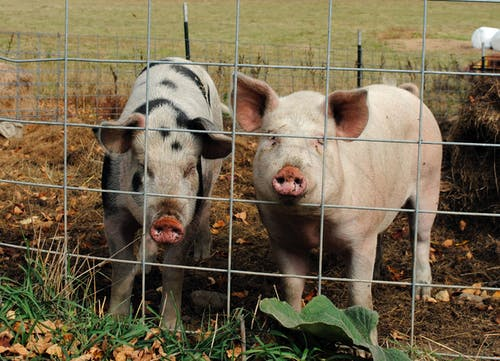 Full body cute pigs standing behind enclosure net and looking at camera in summer farmyard