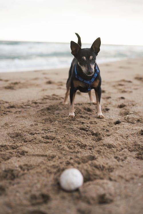 Schwarz Brauner Kurz Beschichteter Hund, Der Auf Braunem Sand Läuft
