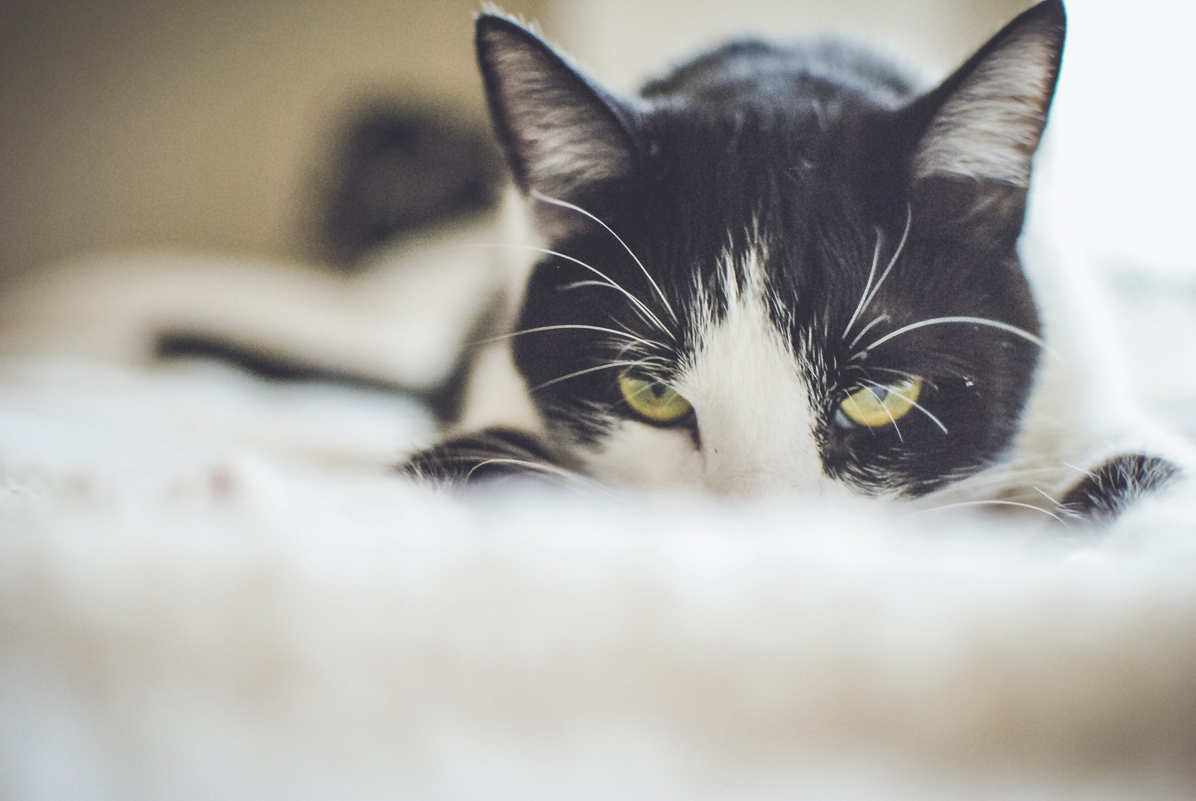Close-up Photography of a Tuxedo Cat