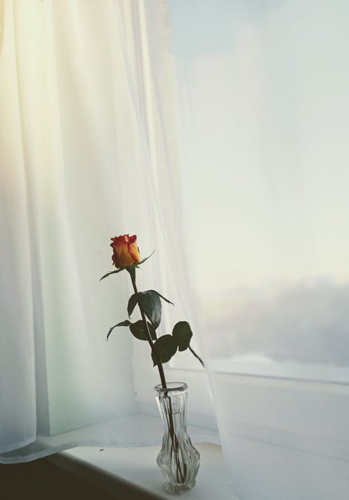 Blooming flower with gentle bud and curved leaves in transparent vase against tulle curtain in house
