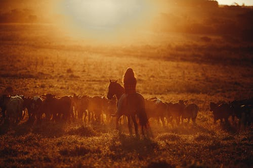Woman on horse on pasture with many calves