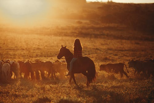 Woman on horse watching herd of calves in bright sunshine