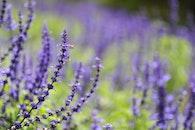 field, flowers, purple