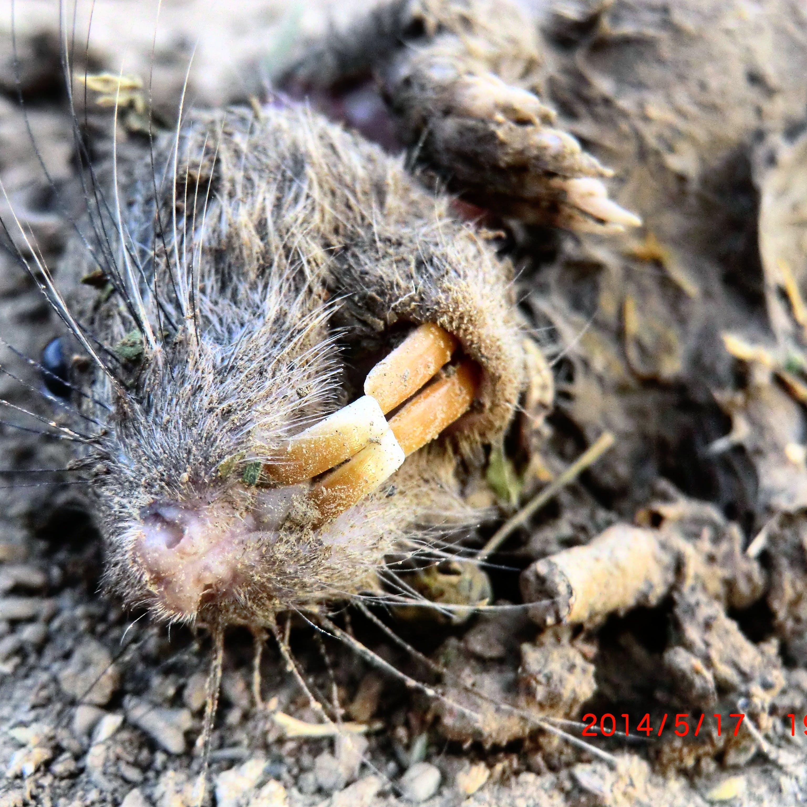 Free stock photo of dead, rat