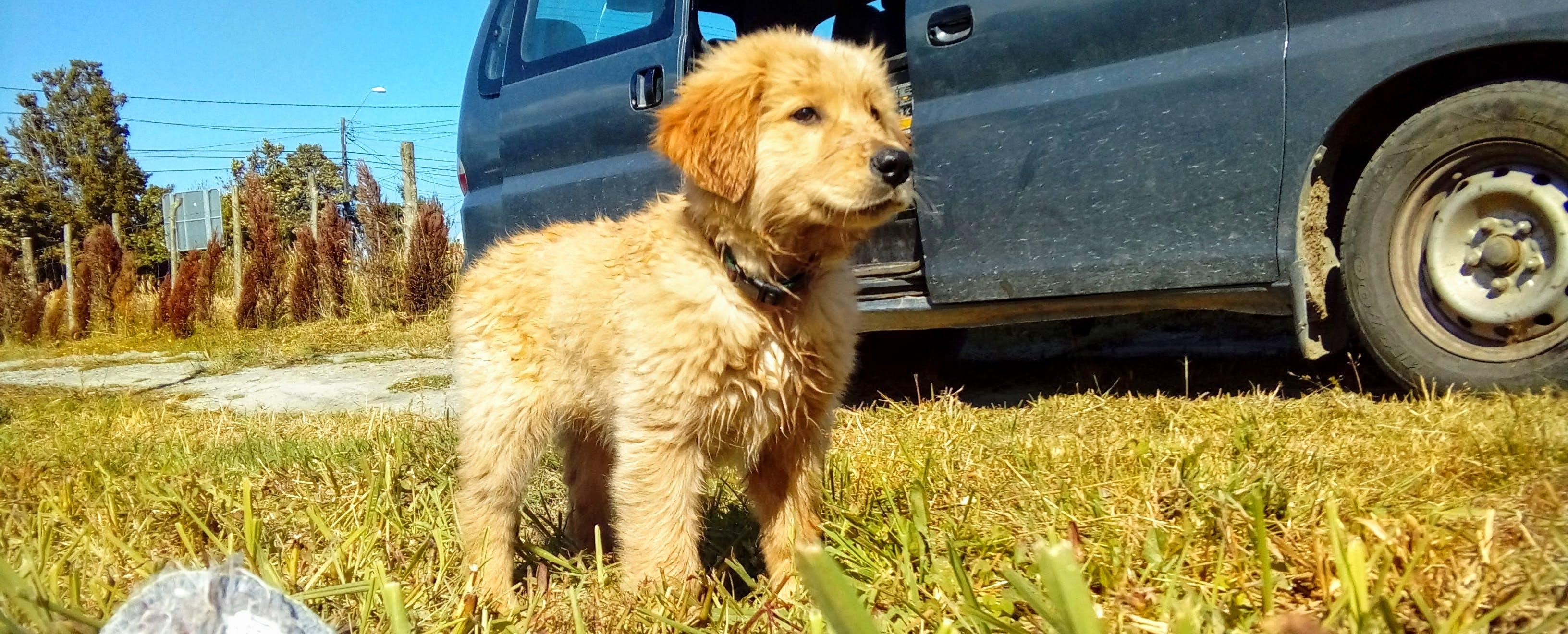Free stock photo of golden retriever, grass