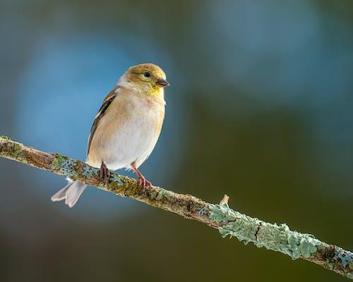 Vivid goldfinch sitting on sprig