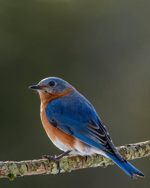 Small colorful mountain bluebird with red chest and blue plumage sitting on thin sprig in forest on blurred background in nature