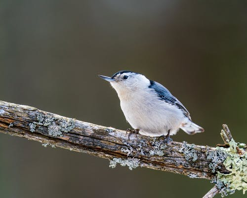 Cute white breasted nuthatch with blue wings and white plumage sitting on tree branch in wild forest on blurred background