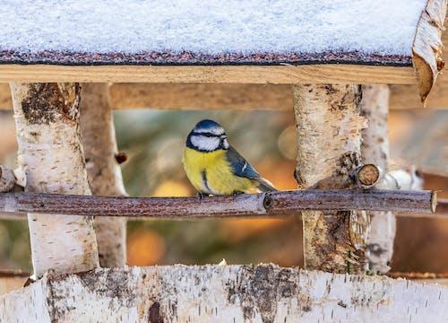 Free stock photo of animal, bird, blaumeise