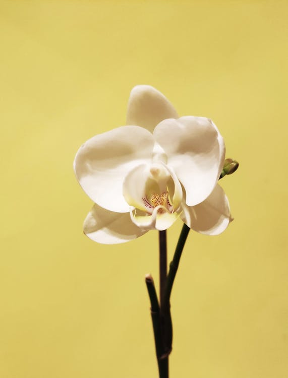 White Moth Orchids in Bloom