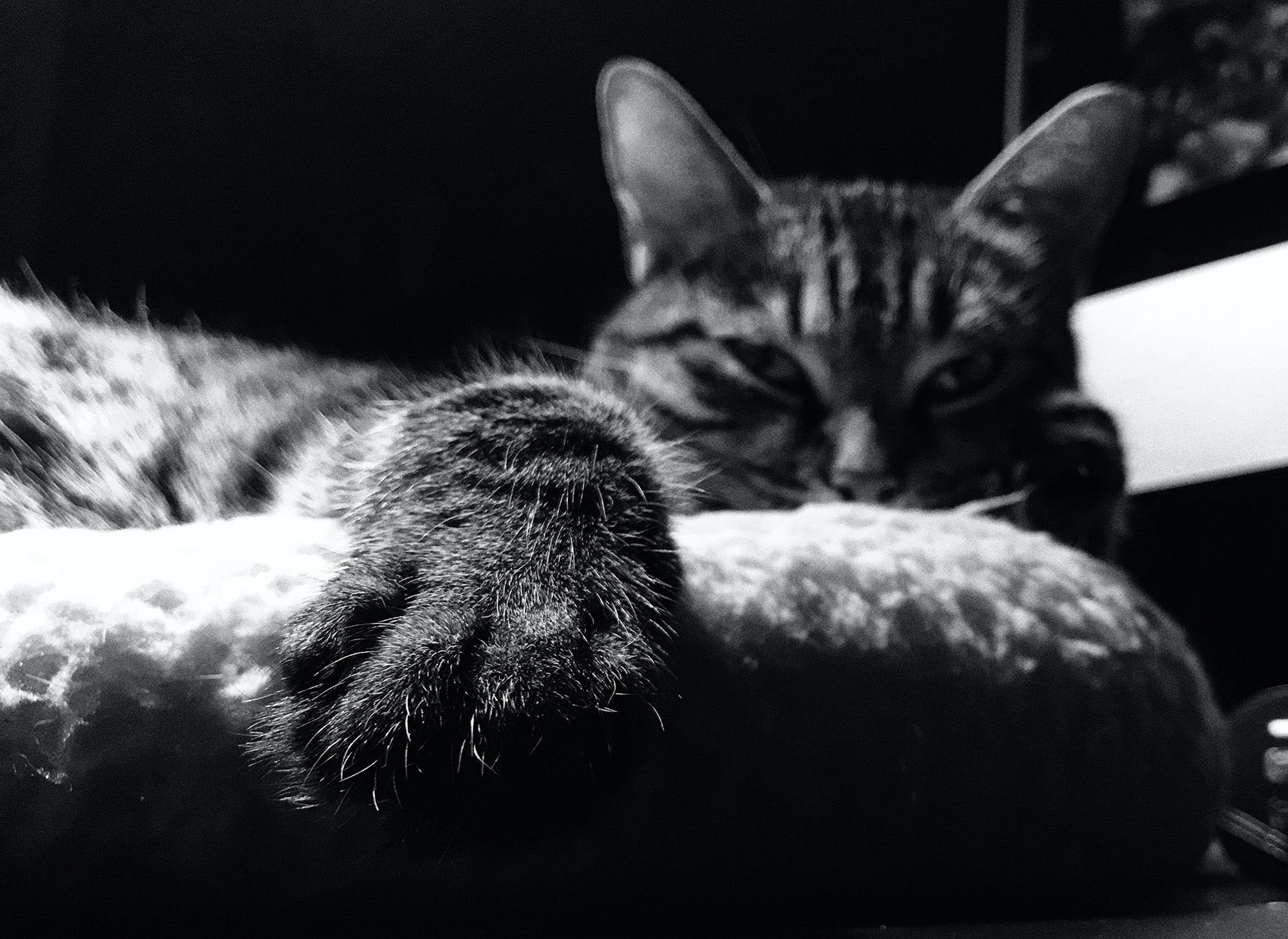 Free stock photo of black and white, cat