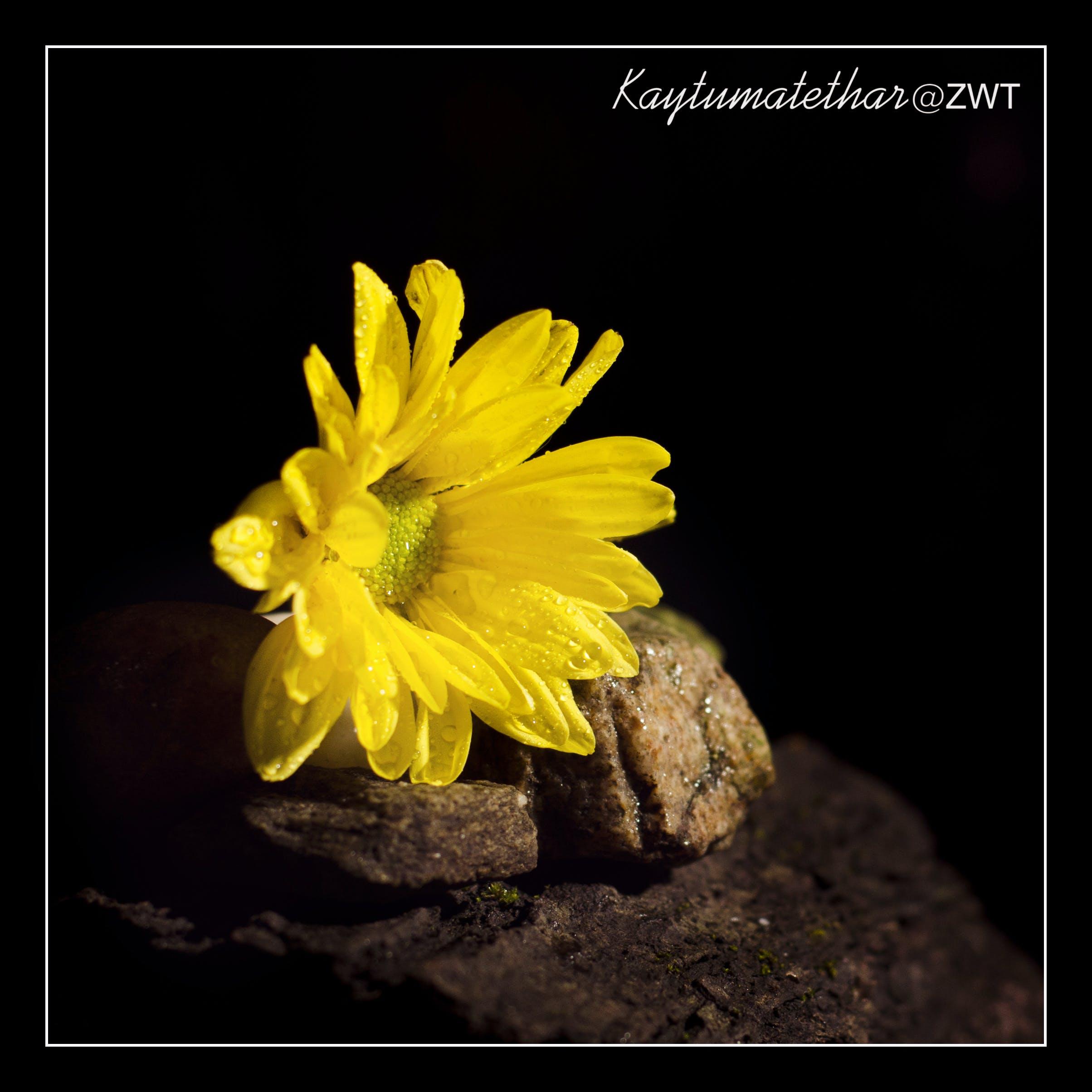 Free stock photo of Chrysanthemum yellow, dark, still life, yellow flower