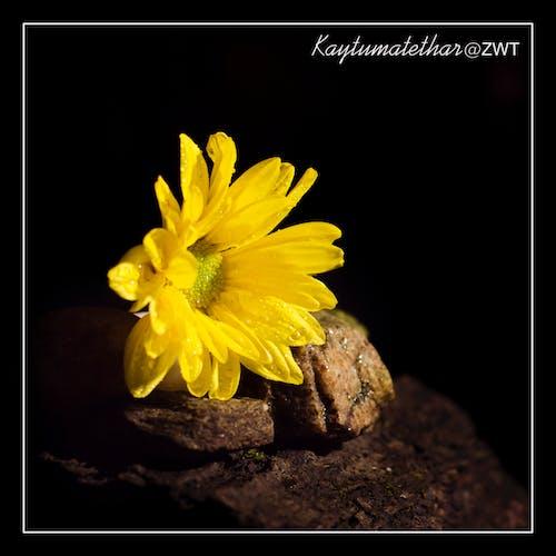 Základová fotografie zdarma na téma chrysanthemum žlutá, tmavý, zátiší, žlutá kytka