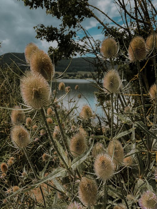 Free stock photo of countryside, distel, flowers