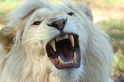 Kostenloses Stock Foto zu zoo, löwe, raubtier, zähne
