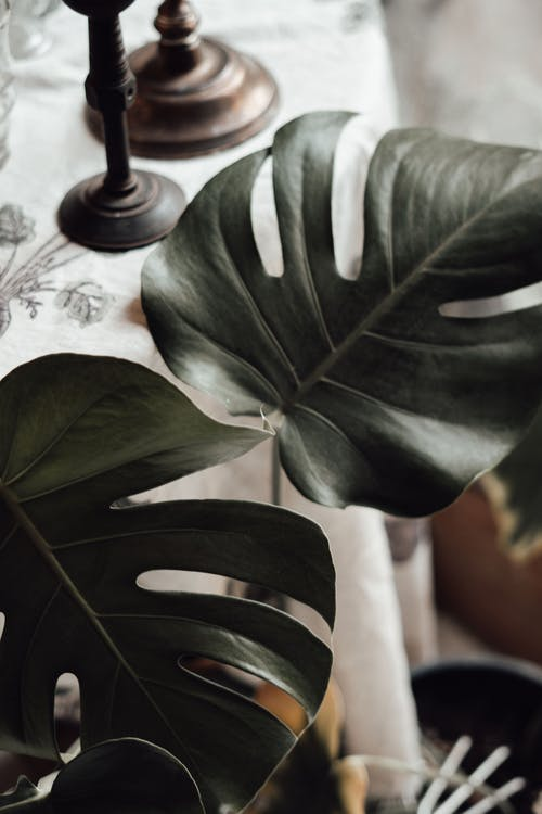 Monstera with lush leaves growing at home