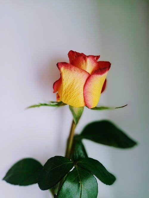 Blooming rose with tender bud and wavy leaves
