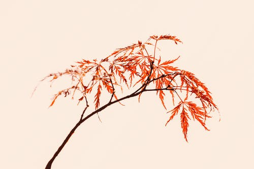 Maple tree thin branch with red foliage on pink background in light studio