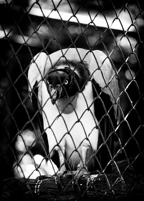 Black and white of dangerous predatory vulture sitting on wooden stick behind metal fence in zoological park on blurred background