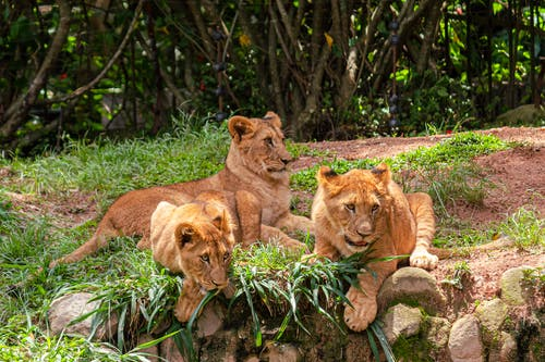 Pride of wild lions lying on grassy terrain near thick forest with trees in nature of national park on summer day