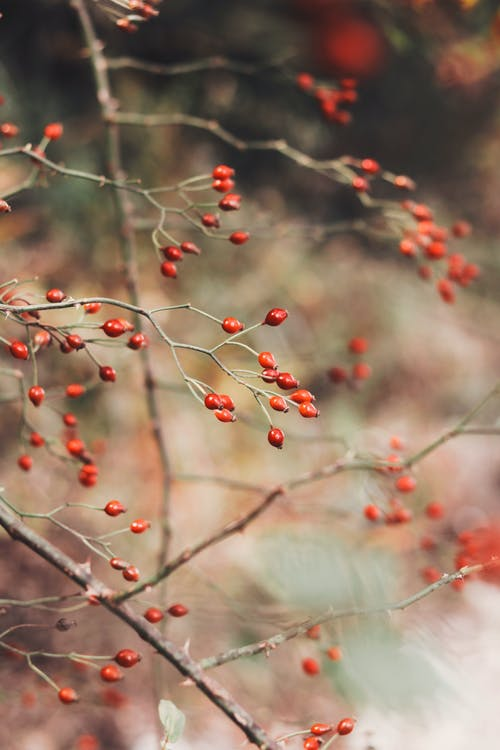 Red berries on thin twigs of leafless trees growing in countryside in daytime