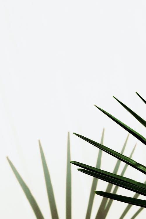 Long thin green leaves of tropical plants growing on white background in light place