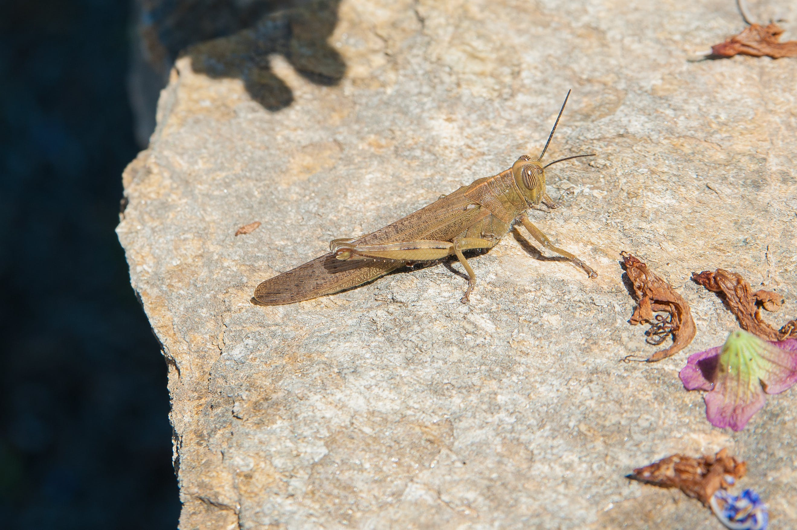 Brown Grasshopper on Gray Surface