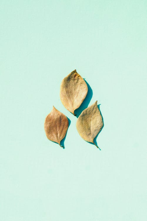 Top view of green leaves of plantain plant lying on blue surface in light studio