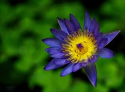 Purple and Yellow Waterlily Flower